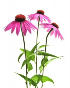 08_49_12_422_echinacea_on_white_Medium_