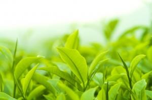 Close up fresh tea leaves in morning sunlight.